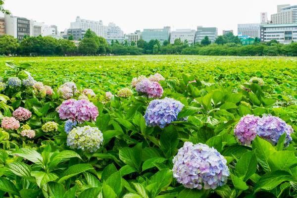梅雨時のデートは紫陽花を見に行こう。東京周辺のおススメあじさいスポット3選。